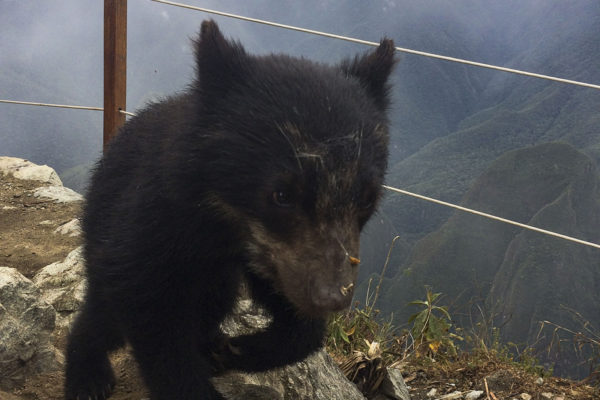 machu-picchu-mountain-bear